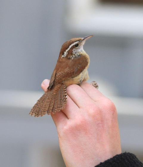The banders are very co-operative.  One of the banders brought out this CAROLINA WREN to show me and to allow me to photograph it.