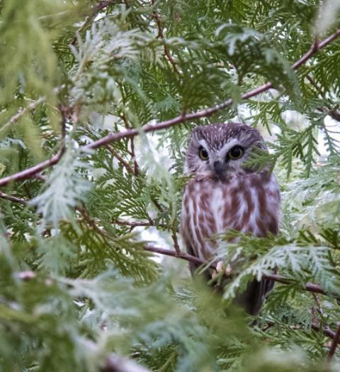 Saw-Whet Owl2