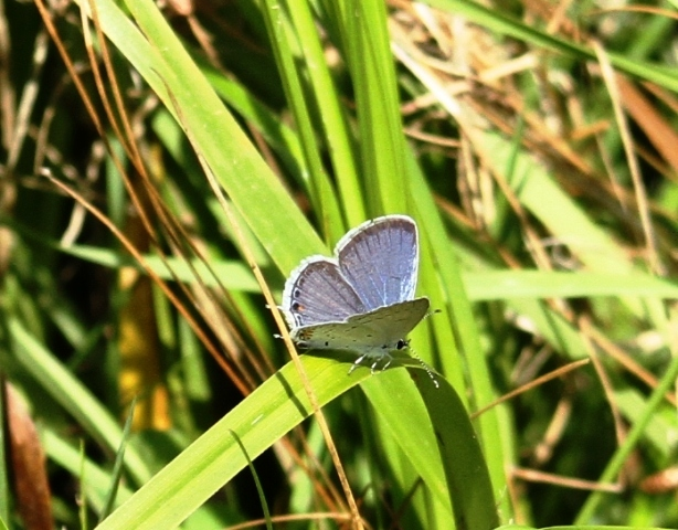 Eastern Tailed Blue (2)