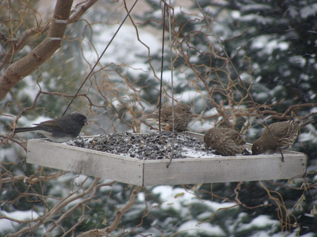 I have had more House Finches coming to the feeder this year