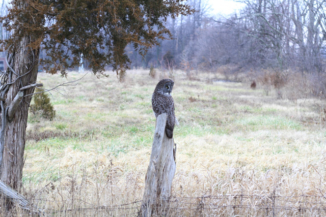 The trip down to Kingsville to see this Great Gray Owl is unforgetable