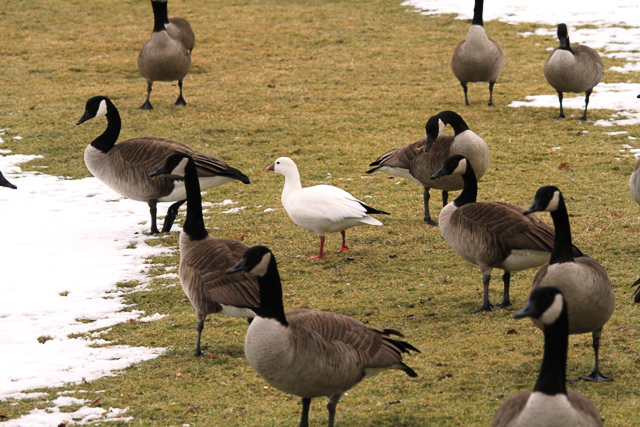 When a Ross's Goose shows up close to home, you just have to jump in the car and go see it.  This one was at Springbank Park in London