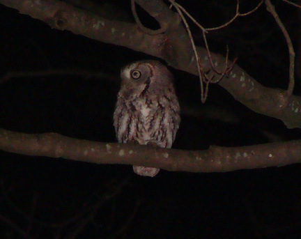 Called out this Screech Owl at Clark Wright