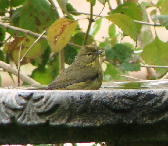 Orange-crowned Warbler in Bird Bath