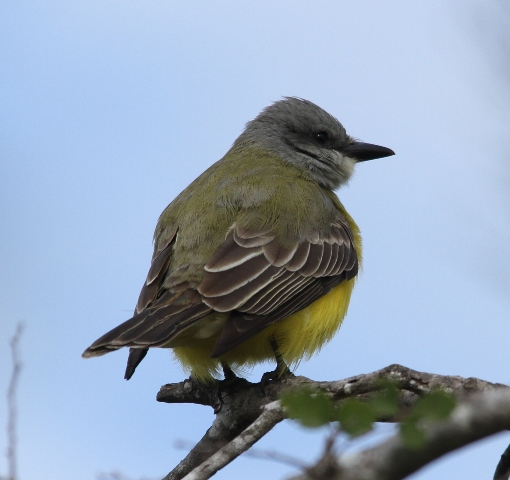 Couch's or Tropical Kingbird - the only way to tell is to hear it sing.