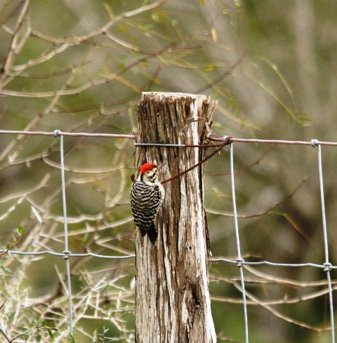 I had fun watching this Ladder-backed Woodpecker working this fence post.  Eventually it rested on the top, just looking around, when out of nowhere.....