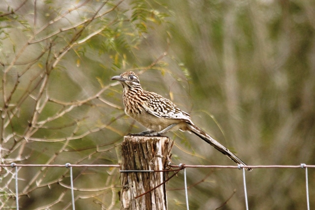 this Greater Roadrunner jumped onto the post and scared off the woodpecker.