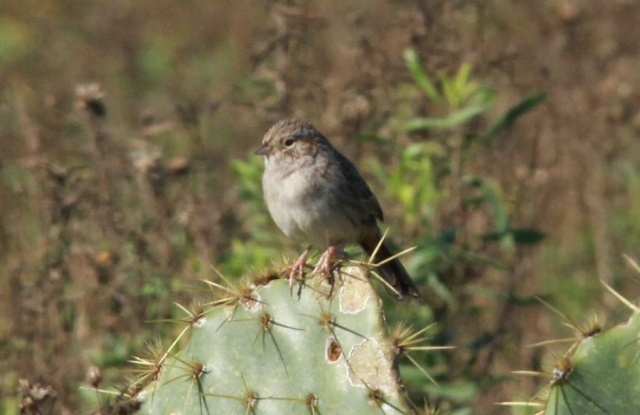 The Cassin's Sparrow is a very plain bird.  No real distinguishing marks.  The song of the Cassin's Sparrow is very nice.