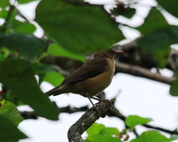 Clay-Coloured Thrush