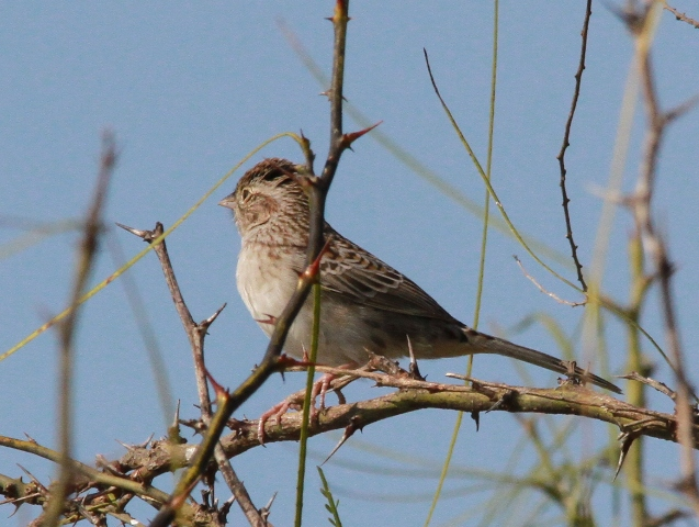This is a picture of a Cassin's Sparrow I took earlier this week.
