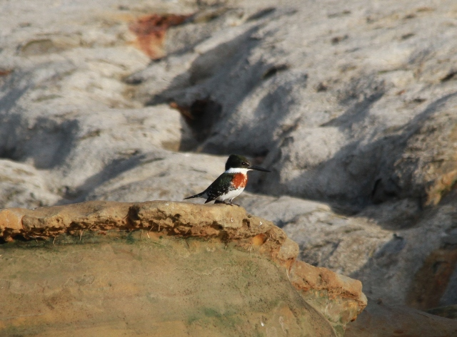 green-kingfisher1