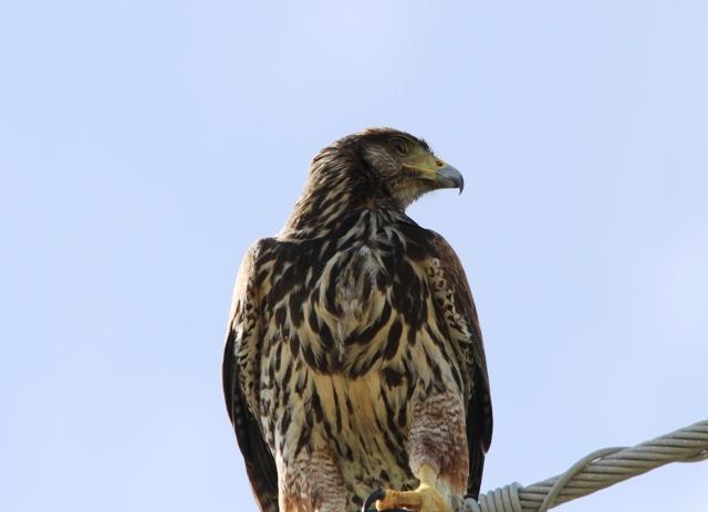 immature Harris's Hawk