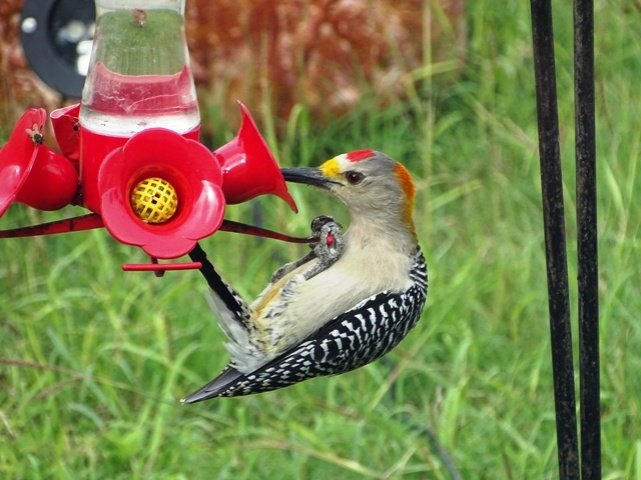 male-golden-fronted-woodpecker