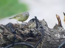 orange-crowned-warbler-looking-for-peanut-butter