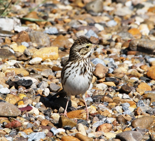 savannah-sparrow-near-mercedes