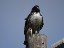 white-tailed-hawk1