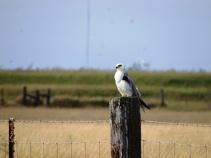 white-tailed-kite