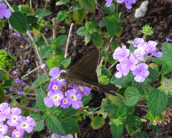 brown-longtail
