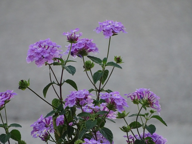 my-new-lavender-lantana