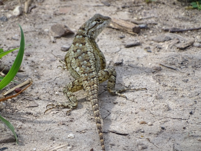 texas-spiny-lizard