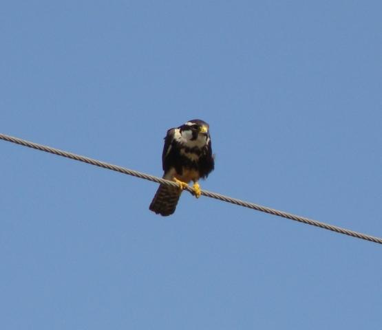 Aplomado Falcon pic taken on Canon Road near Adams Reservoir