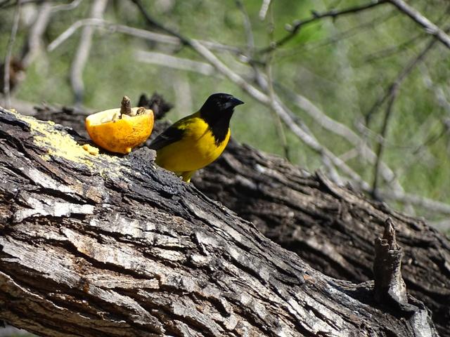 Audubon's Oriole1
