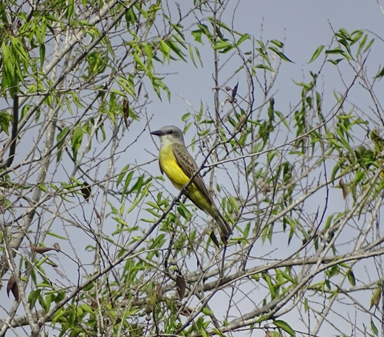 Couches Kingbird
