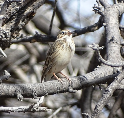 Savannah Sparrow on the way to Alpine